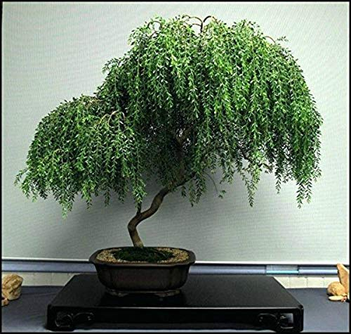 Bonsai Weeping Willow Best Gift House Indoor